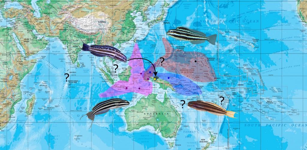 cyanopterus