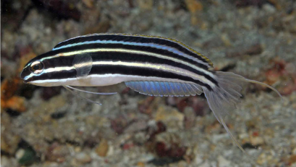M. cyanopterus from Alor, Indonesia. Note the bluish dorsal and anal fins. Credit: Gerry Allen