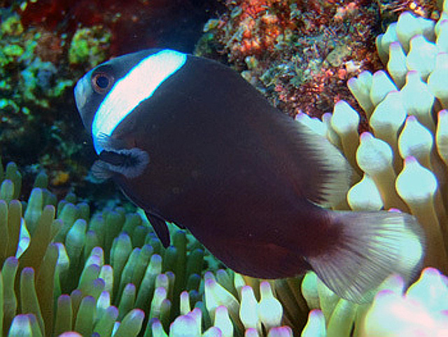 The only other melanistic A. frenatus I'm aware of, from Ishigaki. Credit: Kukuru Diving Shop
