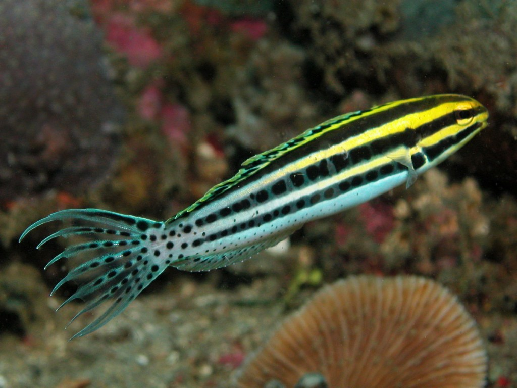 M. grammistes at Anilao. Note the distinctive caudal fin shape and pectoral spot. Credit: Zubi