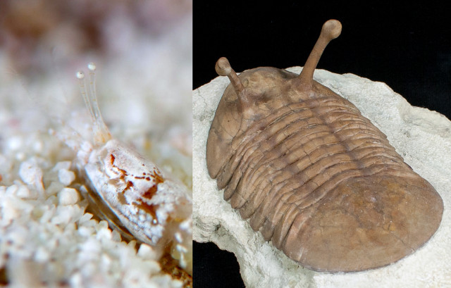 Compare the stalked eyes of Ogrides to the similar modification found in this trilobite. Nature has a tendency to reuse the same idea. Credit: Ishigaki Diving Shop