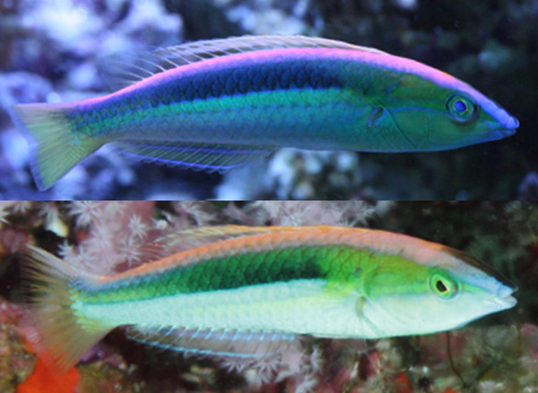 P. kaleidos, aquarium specimen and Similan Islands (lower). Credit: B-Box Aquarium & Takeshi Omura