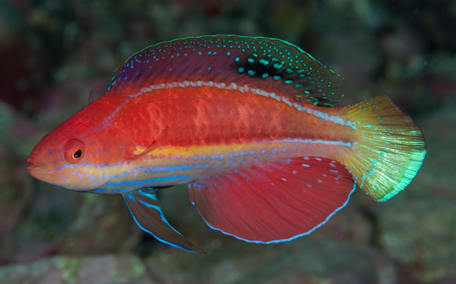 The terminal male of Cirrhilabrus katoi is a sexy fish. Credit: kitachan