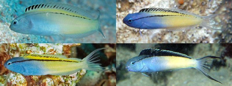 Variation in M. nigrolineatus, all from Red Sea. Credit: John Rochester, Richard Field, Arne Kuilman
