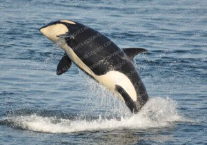 orca adoption