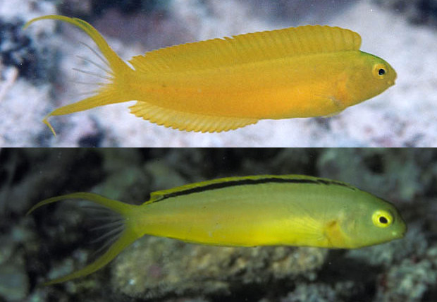 M. oualanensis and tongaensis. Note the dorsal fin stripe and chartreuse coloration of the latter. Credit: Yoshimi Kyakuno