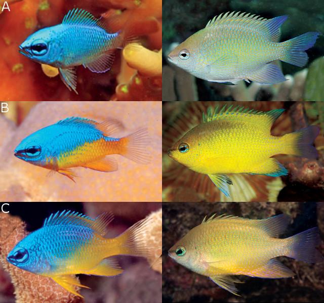A: C. ellenae, from Raja Ampats B: C. maurinae, from Cenderawasih Bay C: C. oxycephala, from Bali & Palawan