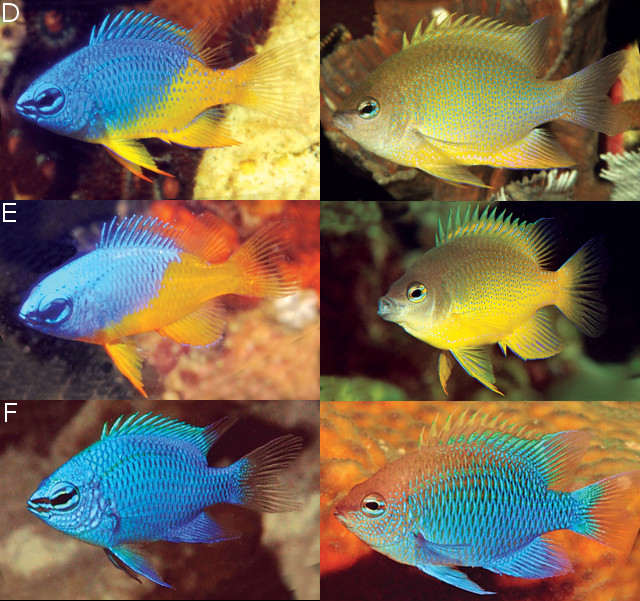 D: C. cf oxycephala genovariant from Lembeh E: C. papuensis, from Milne Bay F: C. sinclairi, from Maus Island & Hermit Islands Credit: Allen et al 2015