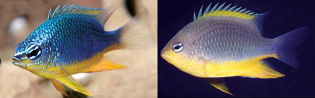 C. cf oxycephala from the Solomon Islands, another likely new species. Credit: Allen et al 2015
