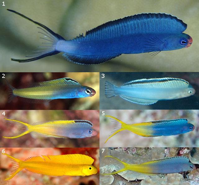 Plagiotremus mimics of the phaeus+atrodorsalis Groups. 1=Undescribed phaeus mimic, New Caledonia, 2=P. townsendi, Red Sea, 3=P. phenax, Thailand, 4=P. cf laudandus, Okinawa, 5=P. laudandus, New Caledonia, 6=P.  flavus, Fiji, 7=P. cf laudandus, Guam. Credit: cassie, Nikki van Veelen, _takau99, unknown, cassie, Heather Sutton, Dave Burdick