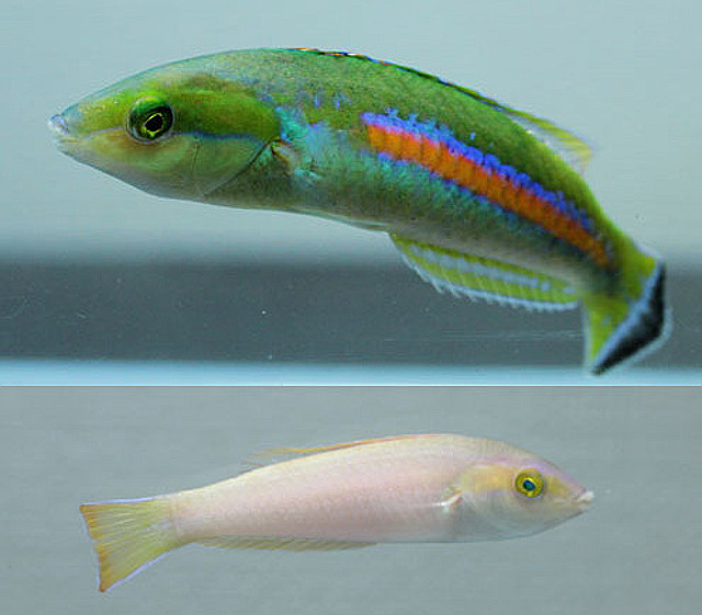 P. polackorum male and female. Credit: Aquaseeker