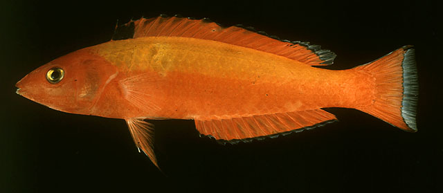Vibrantly colored P. pyrius. Credit: John Randall