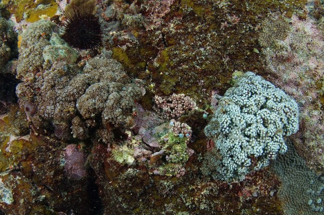 A pair of large colonies of Iramo in Japan. The colony on the right has retracted its tissue, exposing the white underside. Credit: Kushimoto Marine Park
