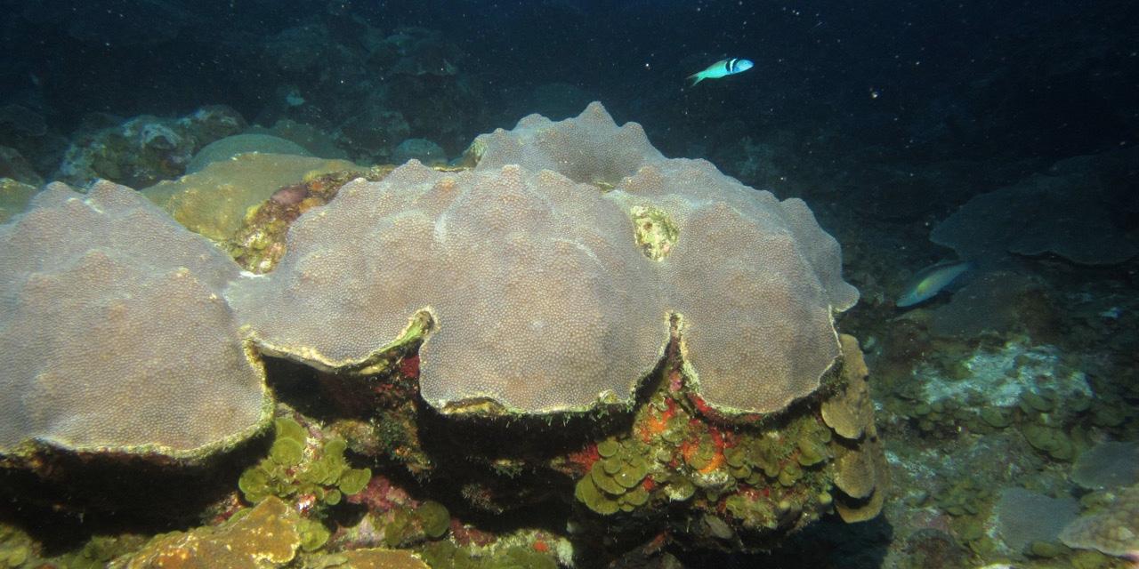 rsmas-coral-340x680