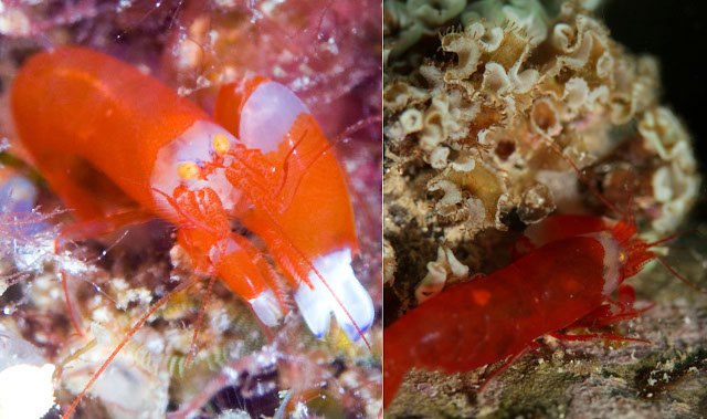 An apparently undescribed species of Synalpheus snapping shrimp frequently associated with Iramo Credit: kiss2sea & manboon
