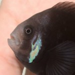 Rare melanistic clownfish collected in Philippines