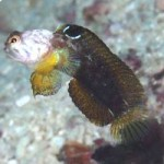 Pygmy Jawfish filmed in the wild for the first time