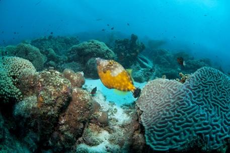 whitespotted filefish - reefs