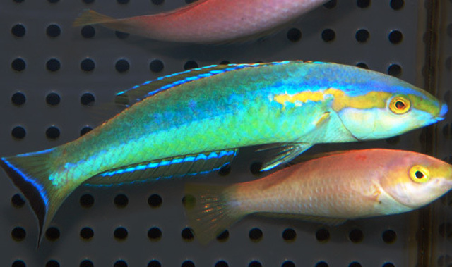 P. xanthomos male and female. Credit: Aqua Rise