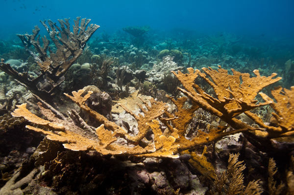 1. Title photo reef site with intact elkhorn coral (Acropora palamata) stand. Photo credit Paul Selvaggio – Pittsburgh Zoo & PPG Aquarium HR-2