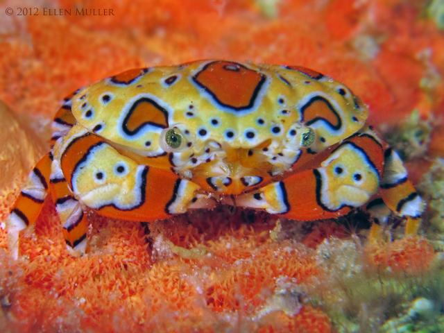 Platypodiella spectabilis Credit: Ellen Muller