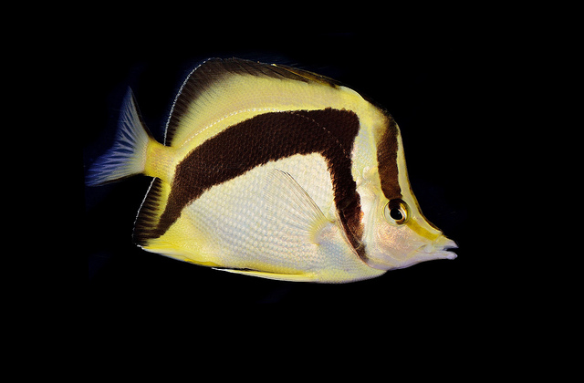 P. falcifer in captivity. Photo credit: Lemon TYK.