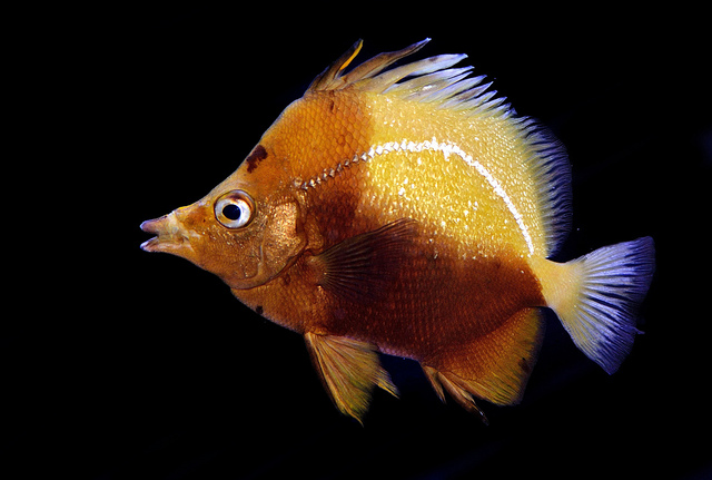 A captive specimen from the late 19th century. This individual is still alive and is more than 20 years old. A truly remarkable fish. Photo credit: Lemon TYK.