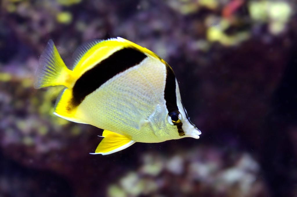 Prognathodes aya. Note the silver body and heavily slanted posterior body band. Photo credit: Lemon TYK.