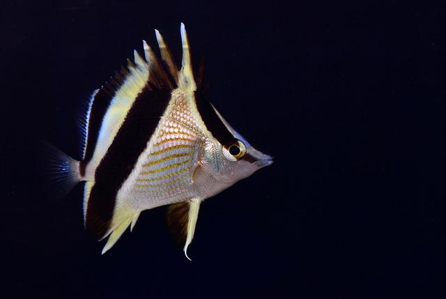 A juvenile P. guyanensis. Photo credit: Lemon TYK.
