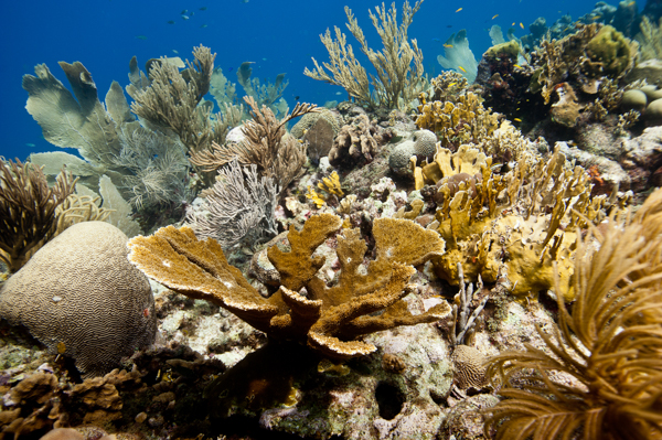 Diverse reef site with small elkhorn coral (Acropora palamata) at Curaçao. Photo credit Paul Selvaggio – Pittsburgh Zoo & PPG Aquarium-2