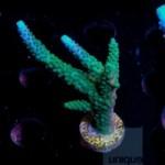 Acropora loisettae