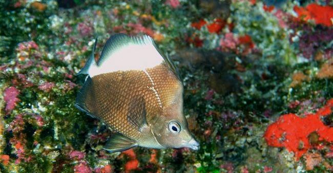 P. obliquus in situ. Photo credit: Andre Seale.