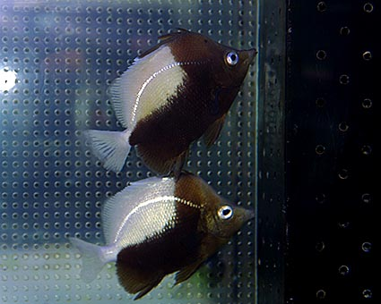 P. dichrous in captivity. Note the mercuric luster in the lateral line and iris. Photo credit: Makoto Matsuoka.