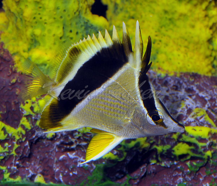 Prognathodes guyanensis x P. aya. Note the yellow pelvic fins of P. aya, as well as the body striae and faint second posterior bar of P. guyanensis. Photo credit: Kevin Kohen.