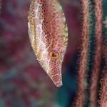 More Caribbean Filefish
