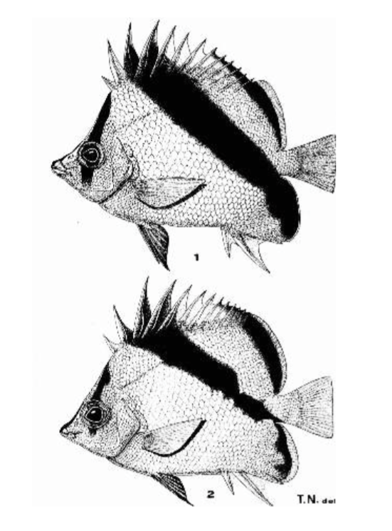 Prognathodes (Peterscottia) guyotensis (1) and P. sp. (2) from the Kyushu-Palau Ridge and Maldives respectively. Nalbant split the two species based on differences in biogeography and coloration. A name was never assigned to the Maldivian species. Photo credit: T.T. Nalbant.