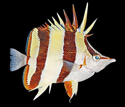 """Prognathodes sp. """"basabei"""". P"""