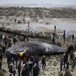 Sperm Whales Wash Up On English Beach
