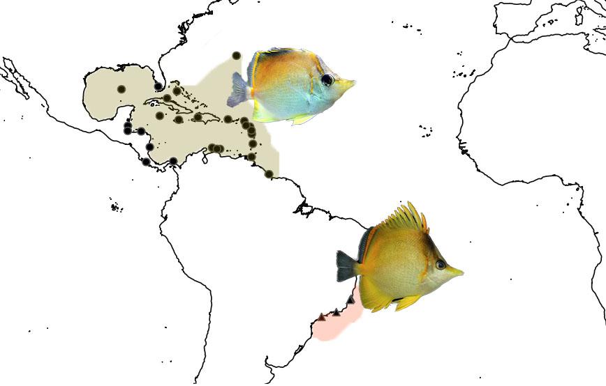 The biogeography of P. aculeatus and P. brasiliensis. Photo credit: aculeatus: Lemon TYK, brasiliensis: Marcieira R.M.