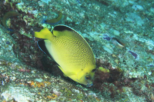 The Armitage Angelfish seen at Phuket, Thailand. Credit: Masuko Hitoshi