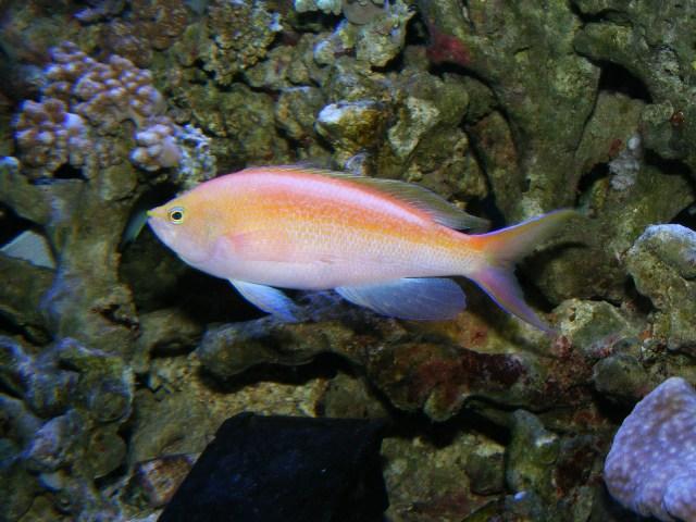 Adult P. aurulentus. Credit: hanapapa