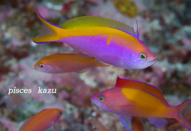 Male P. bartlettorum, showing the distinctive dorsal fin filament and yellow medial bar. P. dispar in background. From Palau. Credit: pisces_kazu