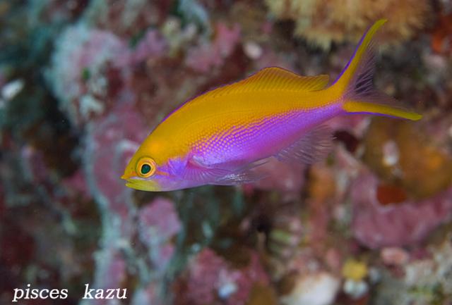 Female P. bartlettorum from Palau. Credit: pisces_kazu