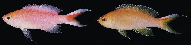 bimarginatus randall comparison