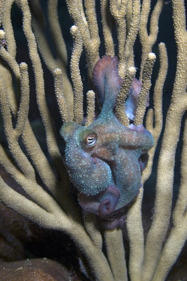 Caribbean Reef Octopus on a Gorgonian - Reefs.com