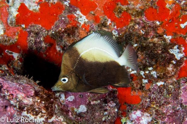 P. dichrous in situ, Ascension Island. Photo credit: Luiz Rocha.
