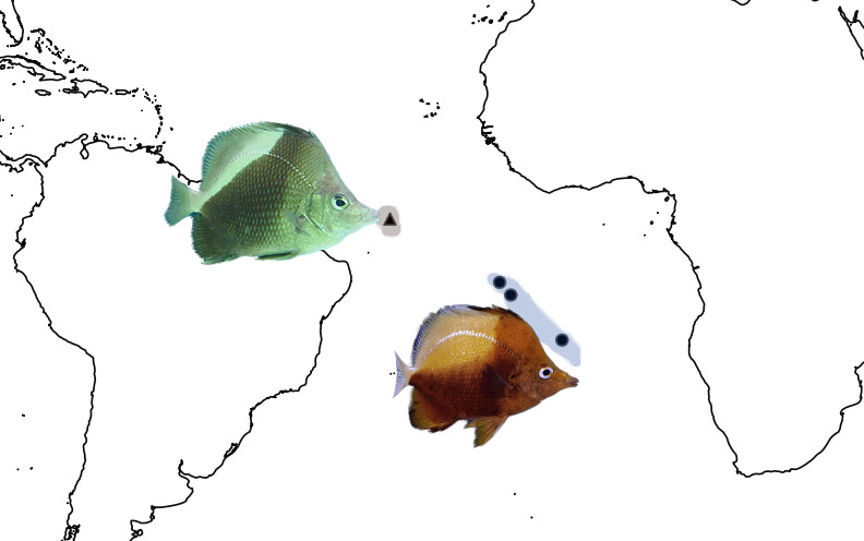 The biogeography of Prognathodes obliquus and P. dichrous. These two species form a clade with the most restricted range of any Prognathodes (or butterflyfish) species yet. Photo credit: obliquus: Chan, T.T.C., dichrous: Lemon TYK.