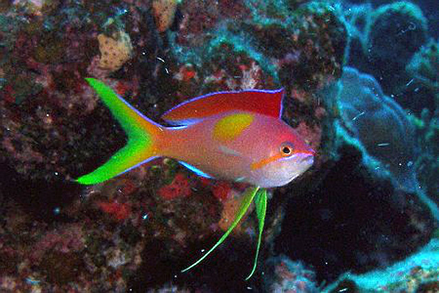 Initial development of the male coloration in dispar. Credit: Ocean Blue