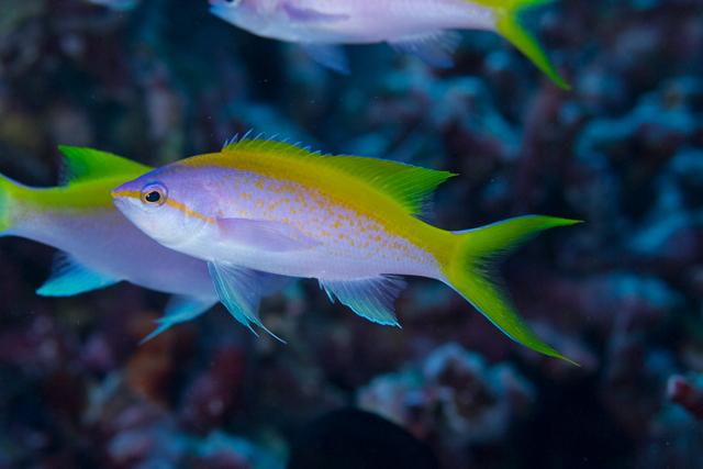 Male P. evansi. Note the sail-like yellow dorsal fin. Credit: Masamichi Torisu