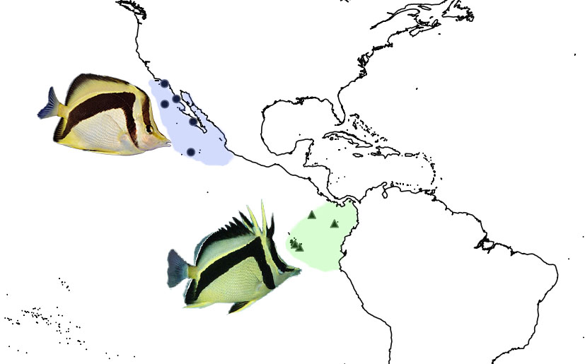 The biogeography of P. falcifer and P. carlhubbsi occupying the extreme Eastern Pacific along the North and South American coast. Photo credit: falcifer: Lemon TYK, carlhubbsi: discoverlife.